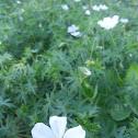 Cranesbill, white