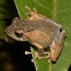 Peter's Bush Frog
