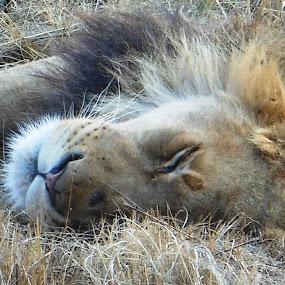 Lion Sleeping by Joss van Wyk - Animals Lions, Tigers & Big Cats ( lion, rietfontein, pretoria, sleeping, africa )