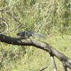 Delmarva Penninsula Fox Squirrel