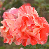 Grimaldi Rosaceae
