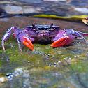 Freshwater Purple Crab