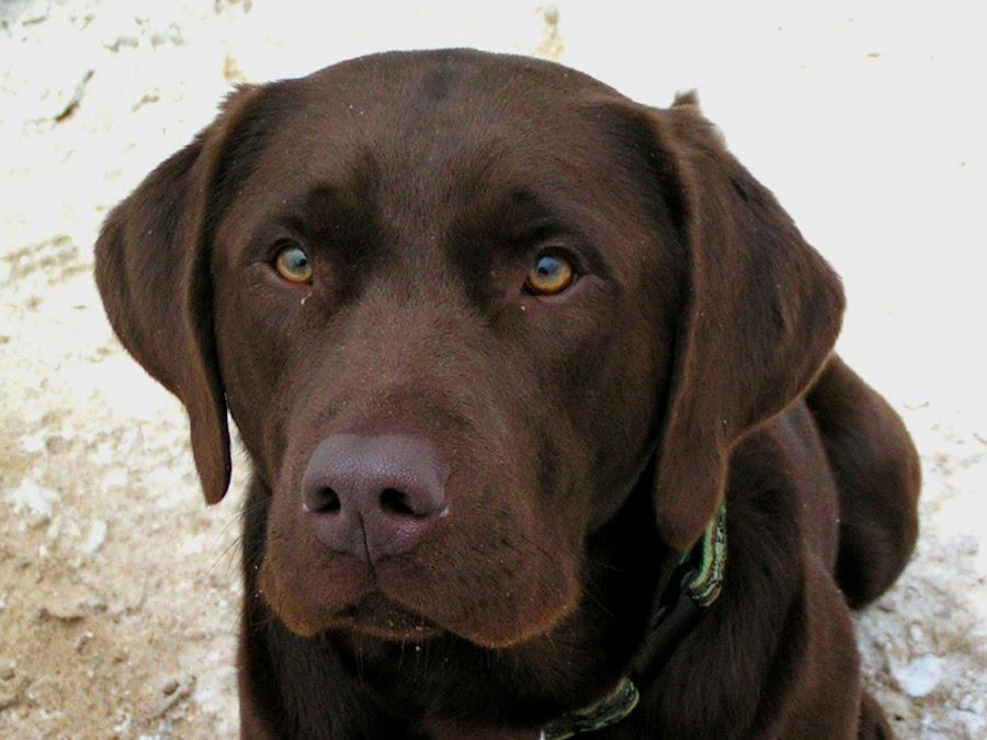 Chocolate Lab by Andrew Kohn - Animals - Dogs Portraits ( chocolate, pet, dog, lab, retiever )