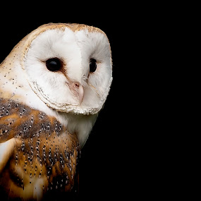 Barn Owl by Simon Armstrong - Animals Birds ( uk, barn owl, wildlife, tyto alba, owls )