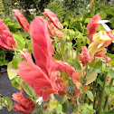 Mexican Shrimp Plant
