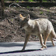 Coyotes In San Diego County