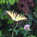 Tiger Swallowtail- Eastern