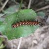 Variegated Fritillary caterpillar