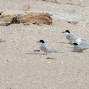 Black–fronted tern