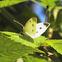 Butterfly - Small Cabbage White
