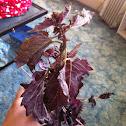 Purple Frill Basil
