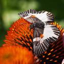 Orange-spotted Skipper