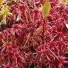 Warnstorf's Peat Moss