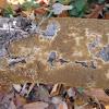 Common brown tooth oak crust mushroom