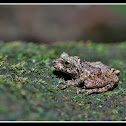 Confusing Green Bush Frog-Male
