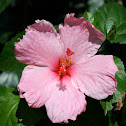 Pink Gumamela