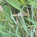 White-faced meadowhawk