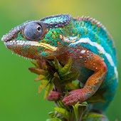 Chameleon Live Wallpaper HD