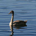 Mute Swan (juvenile)