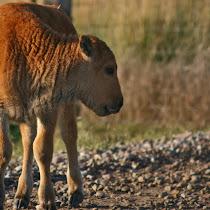 Montana Wildlife