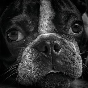 by Lim Darmawan - Animals - Dogs Portraits ( , #GARYFONGPETS, #SHOWUSYOURPETS )