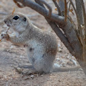 Mexican Prarie Dog