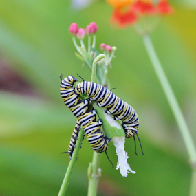 The Caterpillars of Spring by Bridgette Rodriguez - Animals Other ( plant, animals, nature, nature up close, caterpillars )