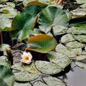 European White Water Lily