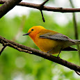 Warblers through the Midwest