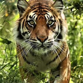 Sumatran tiger by Selena Chambers - Animals Lions, Tigers & Big Cats ( big cat, cat, tiger, sumatran, sumatran tiger, , zoowatch, zoo, animals )