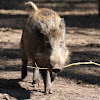 Wild boar (Juvenile)
