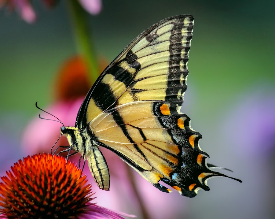 Yellow Beauty by Sue Delia - Animals Insects & Spiders ( butterfly, cone flower, yellow,  )