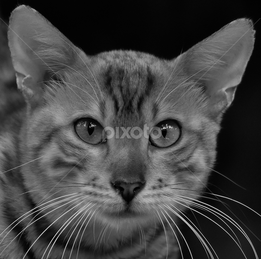 by Cacang Effendi - Black & White Animals ( cats, cattery, kitten, animals, chandra )