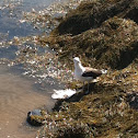 Great Black-backed Gull and sting ray