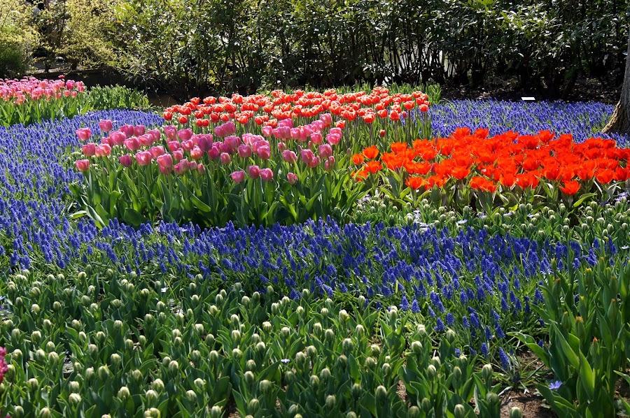 Keukenhof, The Netherlands 2 by Anita Berghoef - Flowers Flower Gardens ( nature, keukenhof, the netherlands, flowers, spring, lisse, garden, flower,  )