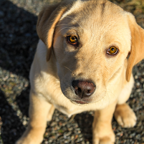 I'm a Good Dog by Eugene Ball - Animals - Dogs Portraits ( canine, puppy, dog, labrador, lab,  )