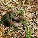 Grass Snake - Užovka obojková