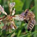 Honey Bee (on clover)