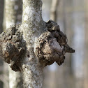 Burl (on maple sapling)