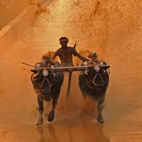 Splash (kambla) by Ramya Raju - News & Events Entertainment ( kambla, splash, tulunadu, boffello race, india, karnataka,  )