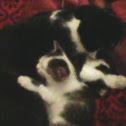 Domestic Kitten holding Mum