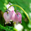 Pacific Bleeding Heart