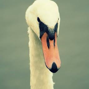 Swan by Cheryll Duckworth - Animals Birds