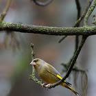 European Green Finch