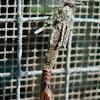 Bagworm emerging