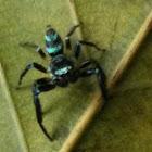 Fighting Spider