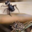 Jumping Spider (Salticid)