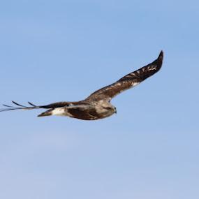 In Flight by Lynn Patterson - Animals Birds ( michigan wildlife, bird of prey, nature, redtail, hawks, wildlife )
