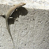 lagartija ibérica (macho)