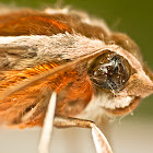Hippotion Hawk Moth or Sphinx Moth